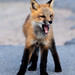 Red Fox - Maberly, NL-10