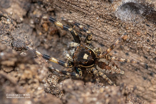 Jumping spider (Salticidae) - DSC_2766