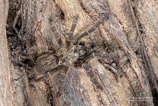 Baboon tarantula (cf. Pterinochilus murinus) - DSC_3060