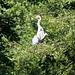 Heron high in tree, sunbathing, West Park