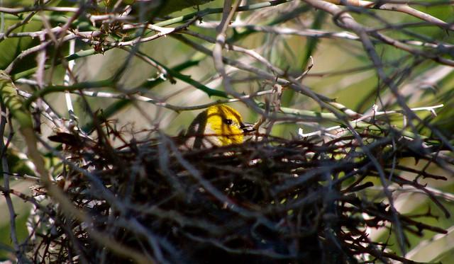 Nesting Verdin - Henderson, Pentax K-7, smc PENTAX-DA 55-300mm F4-5.8 ED
