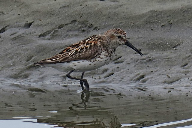 Western Sandpiper, Ocean City State Park, Grays Harbor County, WA 7/17/18