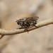 Tachinidae sp.