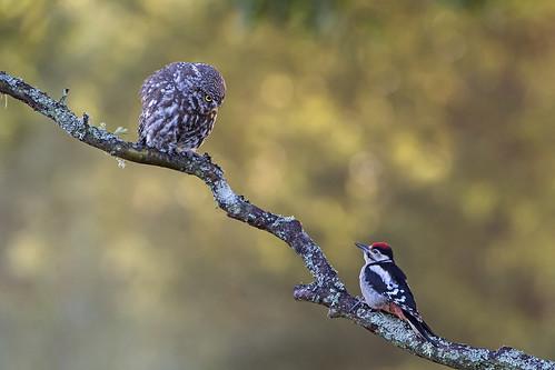 Great Spotted Woodpecker & Little Owl