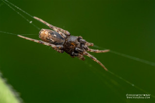 Orb weaver spider (cf. Cyclosa sp.) - DSC_5025