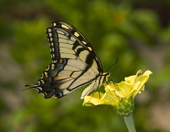 Eastern Tiger Swallowtail, male (Papilio glaucus)