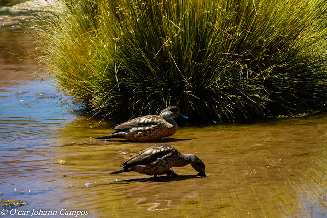 Pato Juarjual - Crested duck