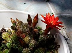 "Cactus ""cornichon"", mai 2018"