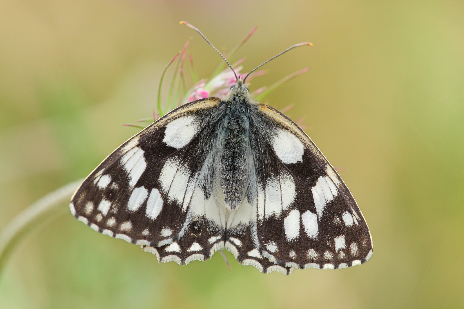 Marbled White from above