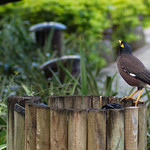 Common Myna - inspecting wastebin