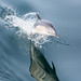 Common Dolphin in flight