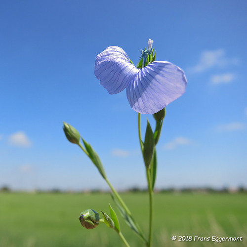IMG_2175 - Vlasbloem - Flax Flower