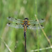 Female Four Spotted Chaser at Chesworth Farm, Horsham