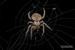 Orb weaver spider (Neoscona sp.) - DSC_3019