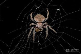 Orb weaver spider (Neoscona sp.) - DSC_3019