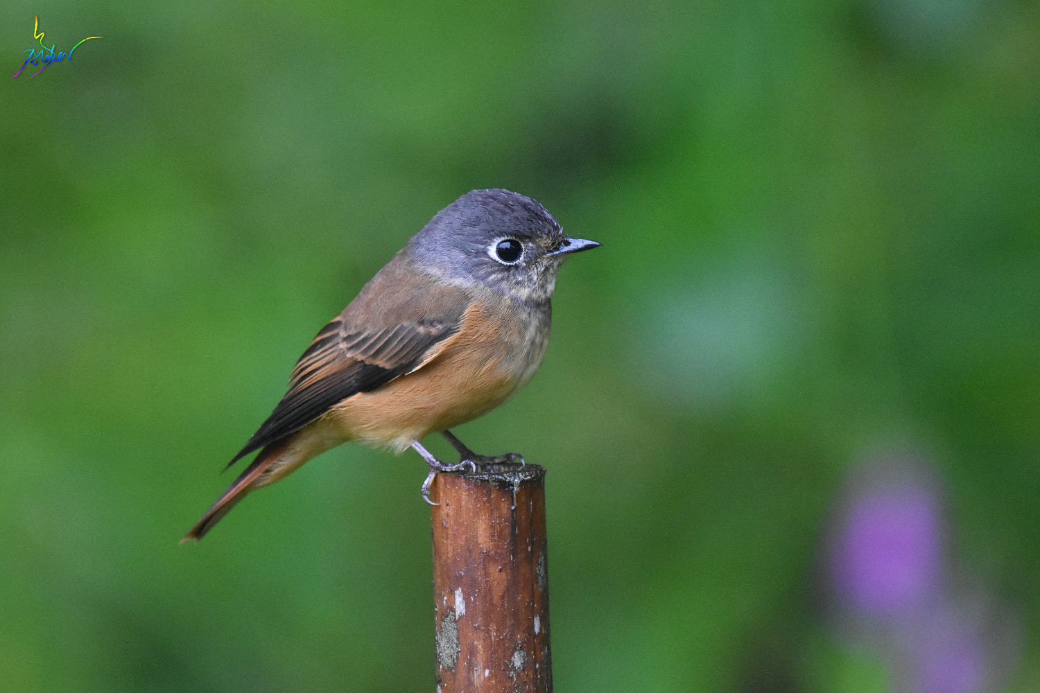Ferruginous_Flycatcher_7003