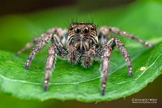 Jumping spider (Salticidae) - DSC_5014