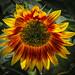 Sunflower by arubow4