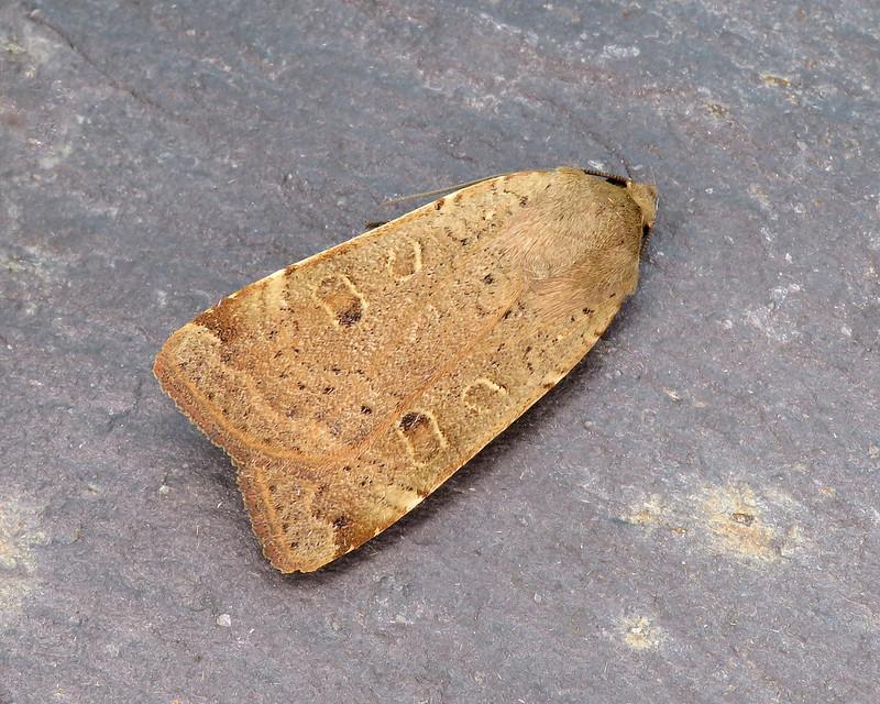 73.345 Lesser Yellow Underwing - Noctua comes