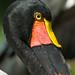 Jabiru d'Afrique (Ephippiorhynchus senegalensis)