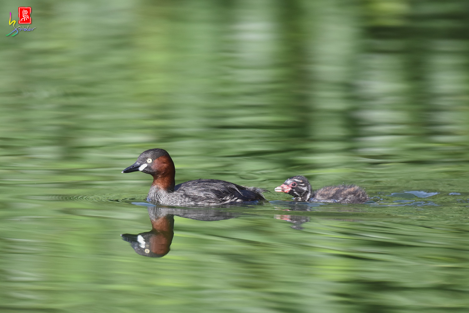 Little_Grebe_4228