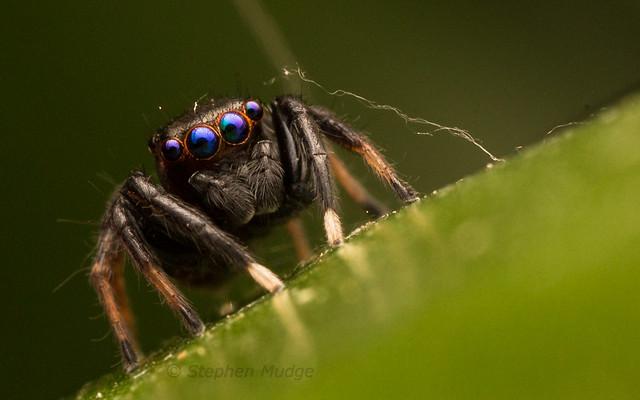 Blue-eyed jumping spider (Jotus sp.)