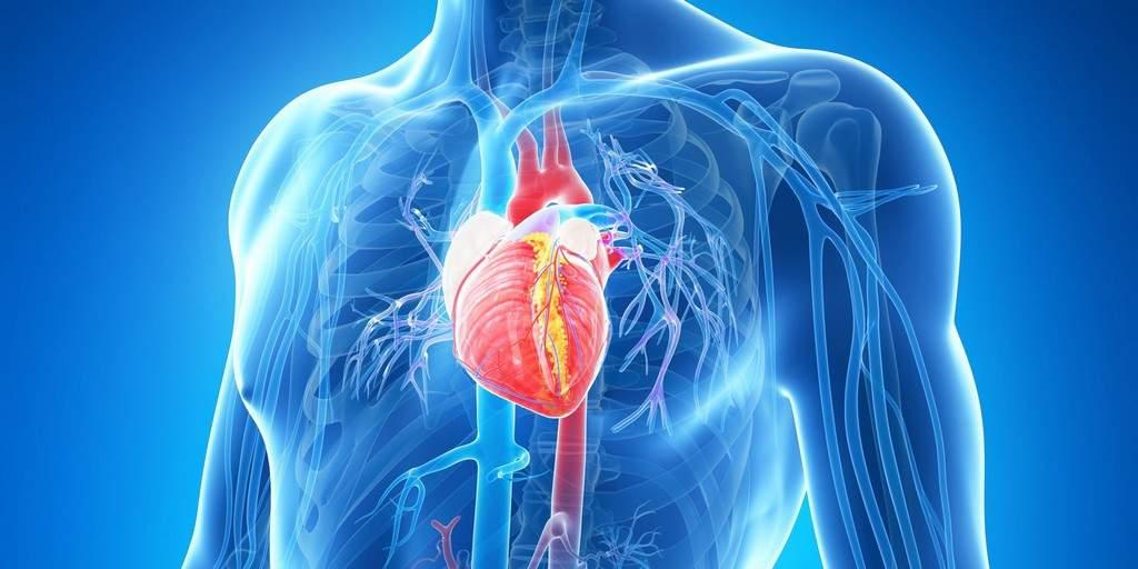 Les scientifiques peuvent imprimer en 3D des tissus cardiaques