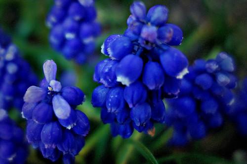 Blumen, Blüten - flowers and blossoms, effect- serie , Traubenhyazinthen, 76339/10288