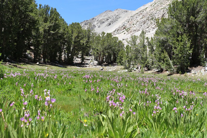 Shooting Star flowers in a soggy meadow as we hiked onward to Sixth Lake