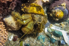 Hairy Hermit Crab at Point of Arches in Olympic National Park