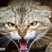 Gato de Arabia (Felis silvestris gordoni) - Mekness