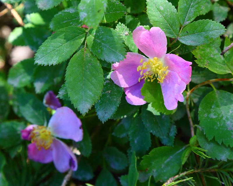 IMG_6272 Woods Rose (Rosa woodsii)