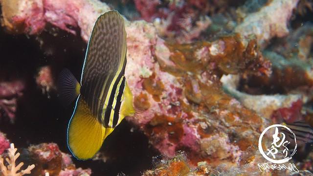ヒレナガハギ幼魚♪