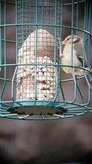 Bluetit fledgling feeding