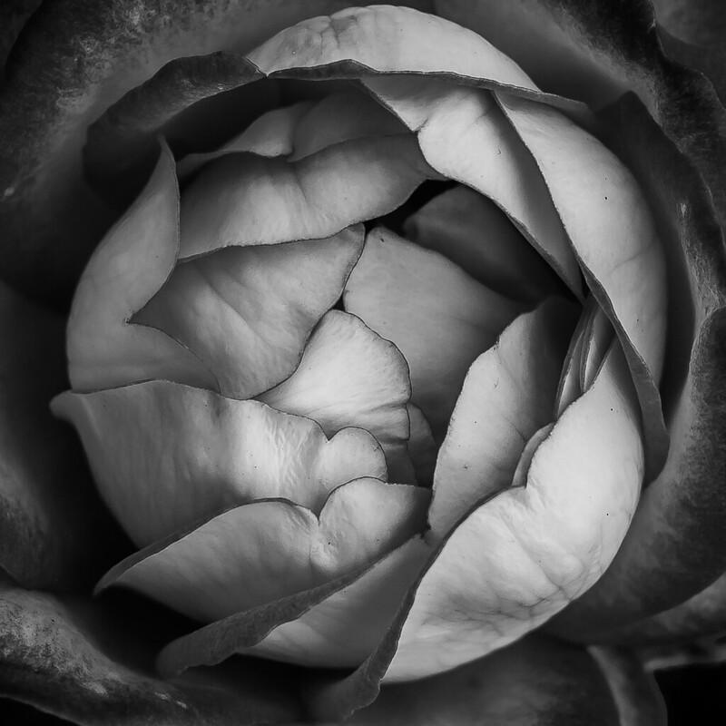 Coeurs de Rose 42252648154_75fc9a2910_c