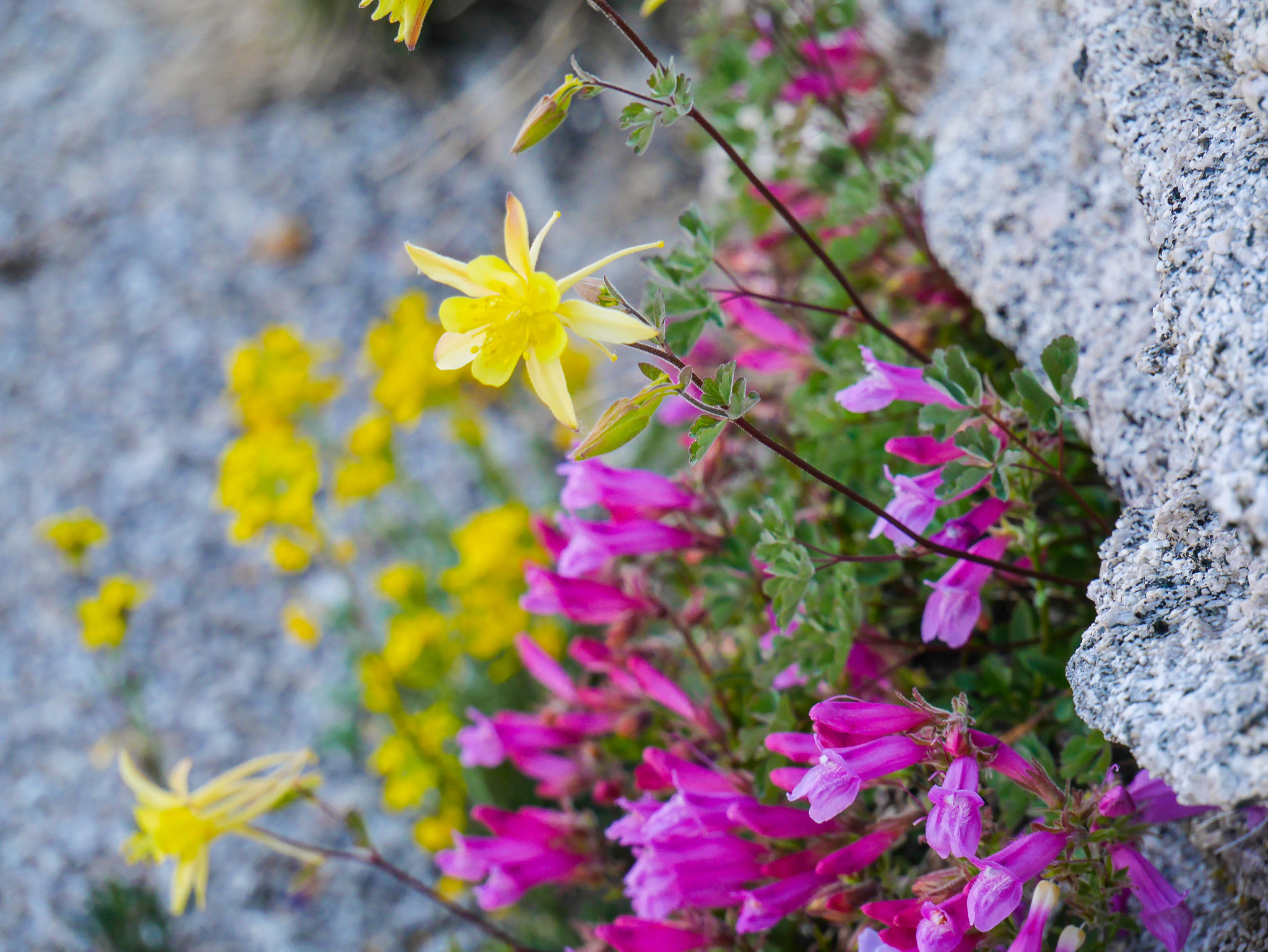 Sierra Columbine and Mountain Pride (Penstemon)