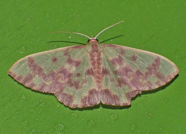 Blotchy Geometrid moth Prasinocyma, Panasonic DMC-G85, Lumix G X Vario PZ 45-175mm F4.0-5.6 Asph. Power OIS
