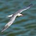 Tern Preston Docks F00286 D210bob  DSC_3544