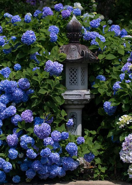 Hydrangea2018: Kannon-ji Temple,Kyoto(観音寺の紫陽花), RICOH PENTAX KP, smc PENTAX-DA* 50-135mm F2.8 ED [IF] SDM