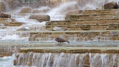 Duck Bathes in --Tower Plaza-- fountains