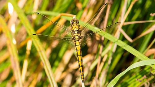 Female black-tailed skimmer (orthetrum cancellatum)