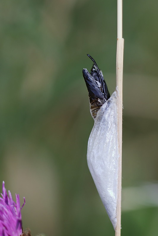 Burnet Moth emerging from Pupa