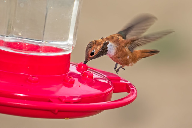 Rufous-Humming-Bird-6-7D2-062918