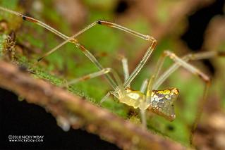 Mirror spider (Thwaitesia sp.) - DSC_7516