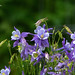 Columbines_4H4A9551 by bud_marschner