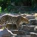 Amur Leopard at Colchester Zoo