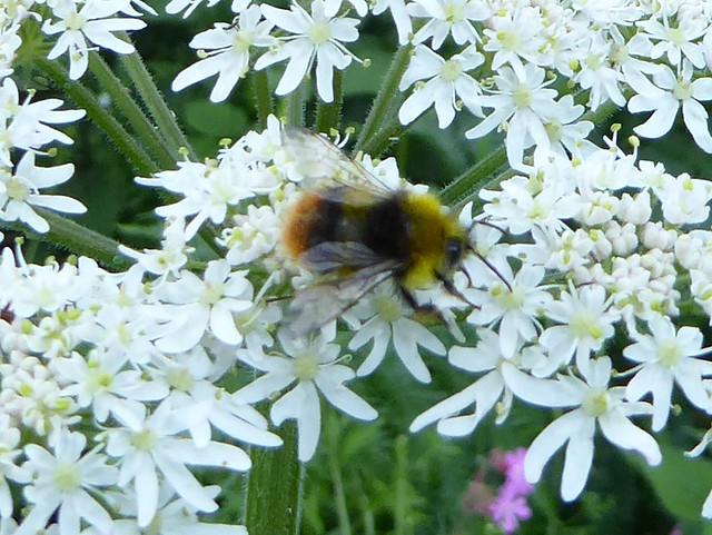 Male early bumblebee
