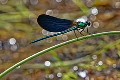 Calopteryx virgo ♂ - Calopteryx vierge ♂ - Photo of Prendeignes