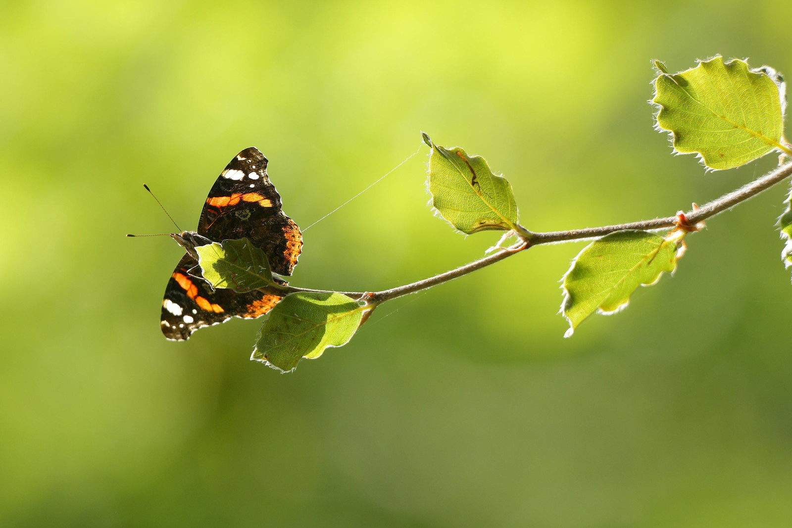 Red Admiral on the end of a beech branch