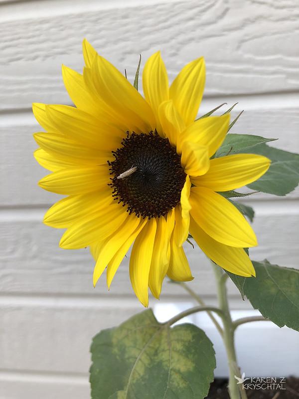 IMG_2159OrangeHobbitSunflower